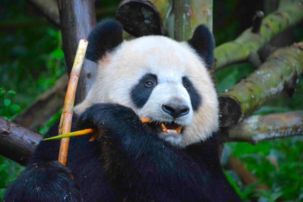 39 best po and tigress images on Pinterest | Pandas